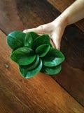 Ręka trzymający małe doniczkowe rośliny w glinianym garnku na drewnianym stole Fotografia Stock