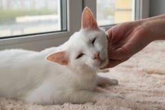 Ręka właściciela uderzania młody delikatny biały kot obraz stock