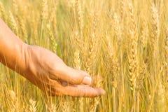Ręka wewnątrz gloden pszenicznego pole. fotografia stock