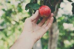 Ręka - wyboru czerwony dojrzały jabłko na drzewie w ogródzie Zdjęcie Royalty Free