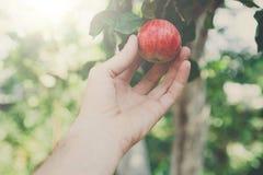Ręka - wyboru czerwony dojrzały jabłko na drzewie w ogródzie Obrazy Stock