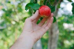 Ręka - wyboru czerwony dojrzały jabłko na drzewie w ogródzie Obrazy Royalty Free