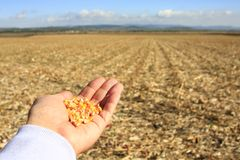 Ręka z kukurudzą zdjęcia royalty free