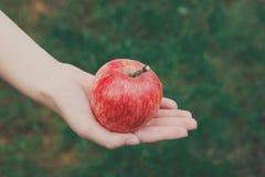 Ręka z czerwonym dojrzałym jabłkiem w ogródzie Zdjęcia Royalty Free