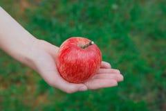 Ręka z czerwonym dojrzałym jabłkiem w ogródzie Zdjęcie Royalty Free