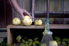 Ręka z jabłkami Obraz Royalty Free