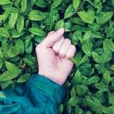 Ręka zaciskająca w pięści kłama na zielonych liściach z raindrops, pojęciem konfrontacja między ludzkością i naturą, zdjęcia stock