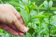 Ręka zbierać herbacianego liść Zdjęcie Royalty Free