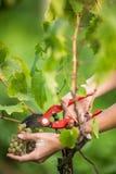 Ręki żeński vintner zbiera białych winogradów winogrona Obraz Stock