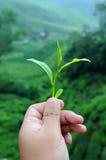ręki chwyta liść herbata Zdjęcie Royalty Free