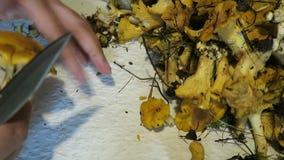 Ręki czyści złotej chanterelles pieczarki Sezonowy jedzenie zdjęcie wideo