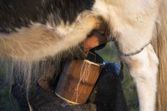 Ręki doi krowy zdjęcie royalty free