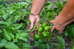 Ręki dorosła kobieta trzymają zielonego pieprzu paprykę na ogrodowym tle Pojęcie narastający warzywa fotografia stock