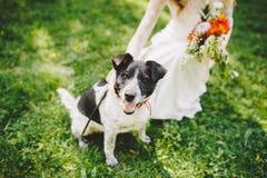 Ręki dziewczyna w muskać czarny i biały psa na gazonie w parku zdjęcia stock
