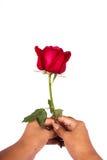 Ręki dziewczyny chwyta róży kwiat Zdjęcie Stock