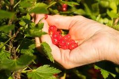 Ręki gromadzenia się Czerwona jagoda W owoc ogródzie Obrazy Stock