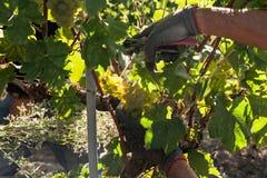 Ręki gronowy żniwiarz ciie białego winogrona wiązki Zdjęcie Stock