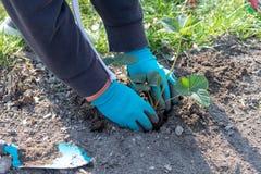 Ręki kobiety zasadza truskawkowej rozsady fotografia royalty free