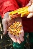 ręki kukurydzana kukurydza Zdjęcie Stock