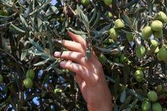 Ręki młodej kobiety żniwa oliwki Fotografia Royalty Free