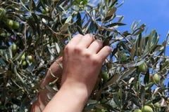 Ręki młodej kobiety żniwa oliwki Zdjęcie Royalty Free