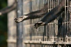ręki małpa Zdjęcie Royalty Free