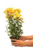 Ręki mienia chryzantemy kwiatów garnek obrazy stock