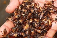 Ręki mienia królowej honeybees zdjęcie stock