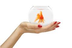 Ręki mienia złota ryba w akwarium Zdjęcie Royalty Free