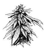 Ręki nakreślenie marihuana Obraz Stock