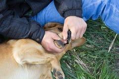 Ręki otwierają usta psa Fotografia Stock