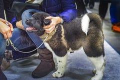 Ręki pieści szczeniaka amerykanina Akita Szczęśliwi szczeniaków karesy obsługiwać fotografia royalty free
