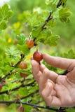 Ręki podnosi jagody agrest w ogródzie, zbliżenie Zdjęcia Royalty Free