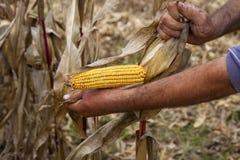 Ręki pokazuje pięknego kukurydzanego kukurydza ucho Obraz Royalty Free