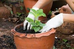 ręki r rośliny w garnku Zdjęcia Stock