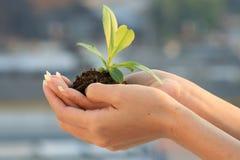 ręki rośliny s kobieta Obraz Royalty Free