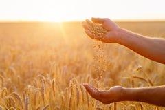 Ręki rolnika zakończenie up nalewają garść pszeniczne adra wewnątrz zdjęcia stock