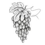 Ręki rysować ilustracje winogrona ilustracja wektor