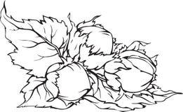 Ręki rysujący hazelnuts z liśćmi Zdjęcia Stock