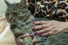 Ręki starsza kobieta trzyma kota z malującymi gwoździami zdjęcie royalty free