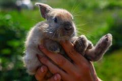 Ręki trzyma ślicznego śmiesznego królika na zamazanym tle Zdjęcia Royalty Free