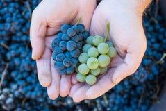 Ręki trzyma świeżą czerwieni i zieleni wiązkę winogrona w winnicy Obrazy Stock