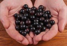 Ręki trzyma świeżych jagod czarnego rodzynku jeżynowy zdjęcie stock