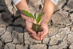 Ręki trzyma drzewnego dorośnięcie na krakingowej ziemi Zdjęcia Stock