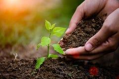 Ręki trzyma glebowymi zasadzać młodego drzewa Fotografia Stock