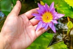 Ręki trzyma lotosowego kwiatu waterlily przeciw liściom Zdjęcia Stock