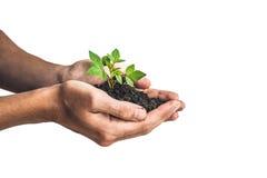 Ręki trzyma młodej zielonej rośliny, Odosobnionej na bielu Pojęcie ekologia, ochrona środowiska Fotografia Royalty Free