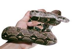 Ręki trzyma węża odizolowywający na tle Zdjęcia Royalty Free