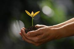 Ręki trzyma zielonej młodej rośliny na naturze i dba Fotografia Stock