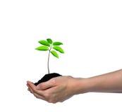Ręki trzyma zielonej młodej rośliny odizolowywająca na bielu Obrazy Royalty Free